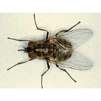 Уничтожение мух на вашем участке