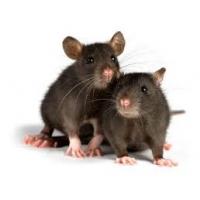 Уничтожение грызунов крыс и мышей