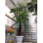 Декоративные пальмы   Москва