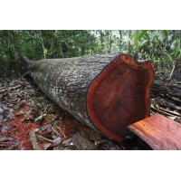 Элитная древесина Махагони